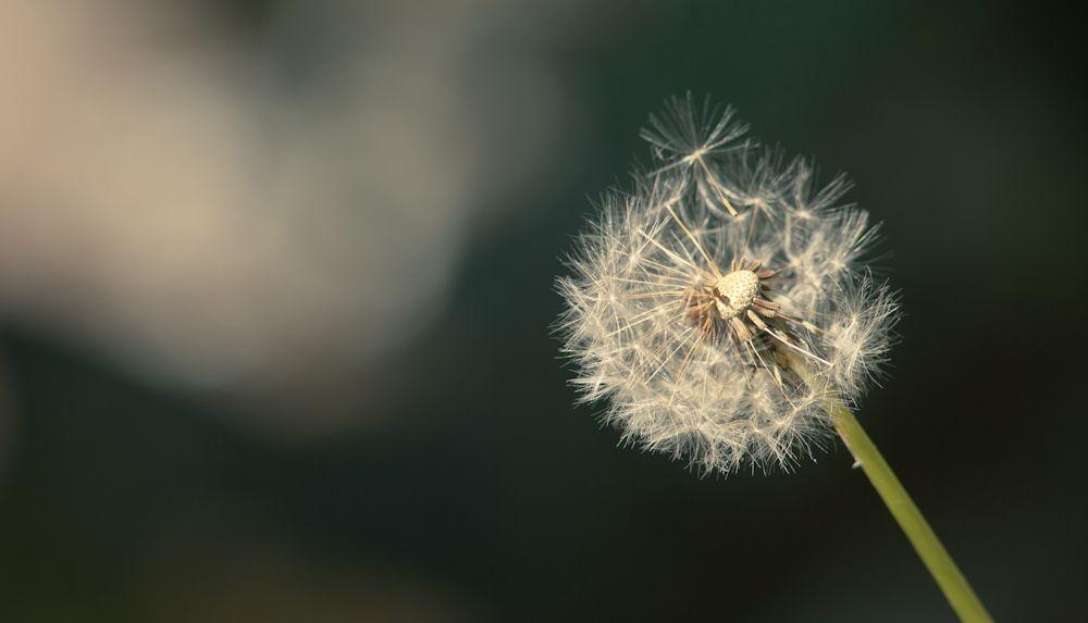 app/assets/images/dandelion.jpg